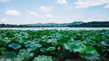 Lotus Leaves And Landscape Of ...