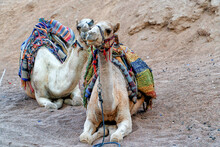 A Pair Of Walking Camels Rest ...