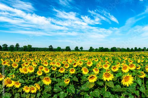 Obraz Beautiful summer day over sunflower field - fototapety do salonu