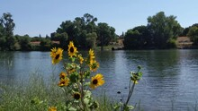 Sunflowers Growing Next To The Sacramento River With A Large Drain Pipe In The Background