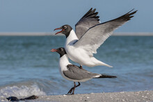 Laughing Gull Copulation