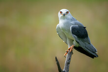 Black-winged Kite (Elanus Caer...