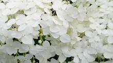 Hydrangea Treelike Blossoming ...