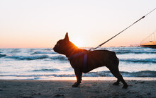 French Bulldog On The Beach At...