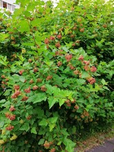 Bushes With Green Leaves And Red Seed Pods. Natural Wallpaper