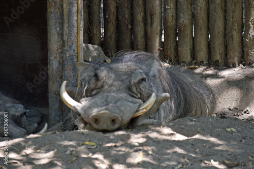 Photo Warthog Close Up