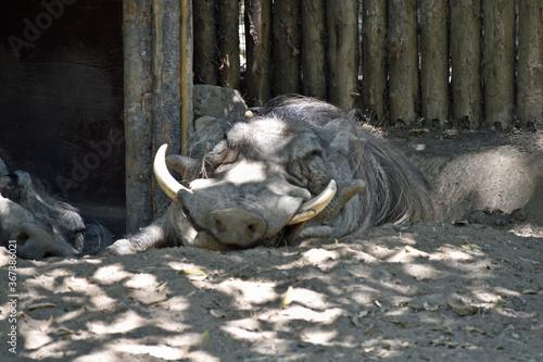 Cuadros en Lienzo Sleeping Warthog