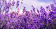Beautiful lavender field, closeup. Banner design