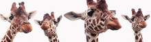 Giraffe Heads Isolated On A Wh...