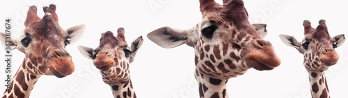 Photo Giraffe heads isolated on a white background