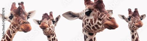 Fotografia, Obraz Giraffe heads isolated on a white background
