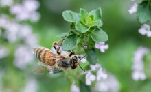 Honeybee Collecting Pollen From A Thyme Plant In The Garden