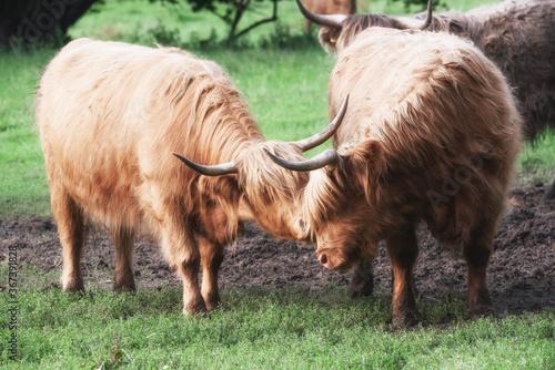Foto Highland Cattle