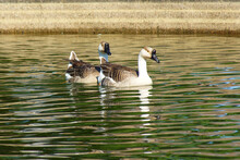 Geese, Ripples In Water, Green...