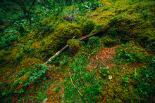 Beautiful Taiga Background With Rich Flora On Mossy Streep Slope. Fresh Greenery Among Thick Mosses On Mountainside Close-up. Atmospheric Green Forest Backdrop With Lush Moss. Woodland Texture.