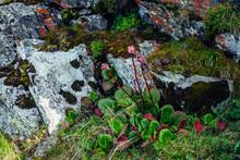 Beautiful Pink Flowers Of Bergenia Crassifolia Among Lush Greenery Close-up. Colorful Rich Mountain Flora Among Rocks. Stones With Mosses And Lichens Closeup. Badan Broadleaf Flowering Among Stones.