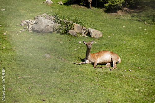 Young Deer lies on the grass on a sunny day.