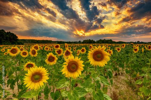 Fototapeta Beautiful sunset over sunflower field obraz na płótnie