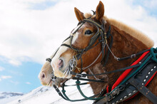 Draft Horses After A Sleigh Ri...