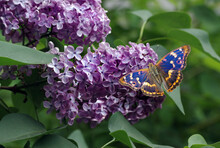 Colorful Blue Butterfly On A Blooming Lilac. Butterflies On Flowers. Purple Emperor Butterfly