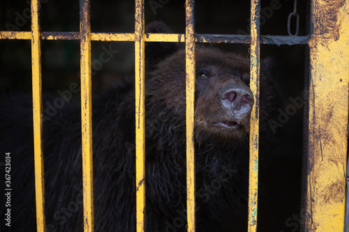 Bear in a cage Canvas Print