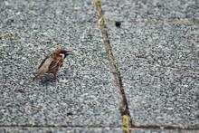 歩道でさえずるスズメの幼鳥