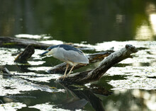 Portrait Of A Black Crowned Night Heron Standing On A Log On The River.