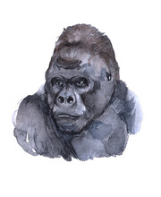 Watercolor Single Gorilla Isolated On A White Background Illustration.
