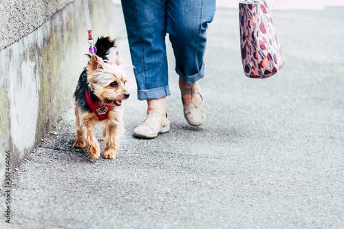 Femme en train de promener son petit chien yorkshire dans la rue Canvas Print