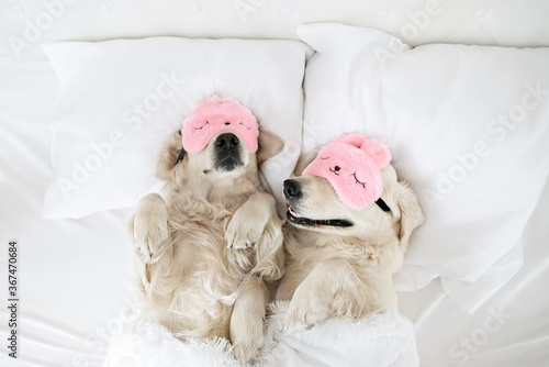 two golden retriever dog sleeping in bed on pillows