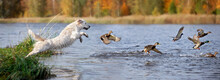 Golden Retriever Dog Jumping Into Water Chasing Ducks