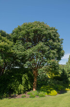 Summer Foliage Of A Deciduous Paperbark Maple Tree (Acer Griseum) Growing In A Garden In Rural Devon, England, UK
