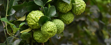 Citrus Hystrix, Kaffir Lime Or Makrut Lime Hanging On Its Branches And Tree