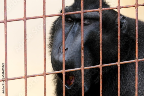檻の中の黒いサルのあくび Tapéta, Fotótapéta
