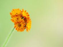 Flower Of Orange Hawkweed . F...