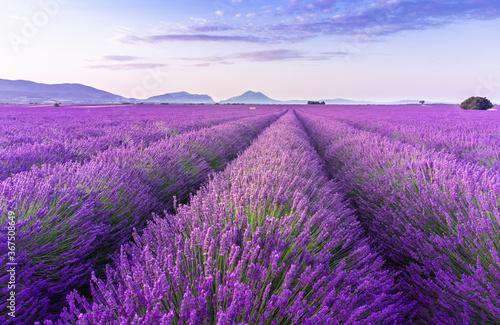 Fototapeta Lavender field summer sunrise landscape near Valensole. Provence, France obraz na płótnie
