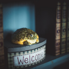 The Wise African Bullfrog In L...