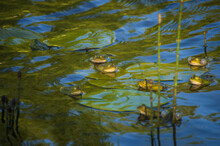 Group Of Marsh Frogs In The Green Pond's Water Among Water Horsetail Twigs And Yellow Water-lily's Leaves During Mating Season In Springtime