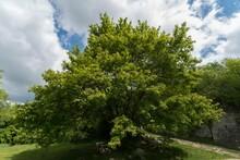 Beautiful Shot Of A Green English Oak In A Park Under Cloudy Sky