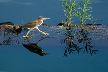 Marching Green Heron With Reflection