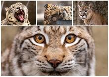Set Of Photos Of The Big Cats. Puma, Leopard, Snow Leopard, Lynx. Close Up.