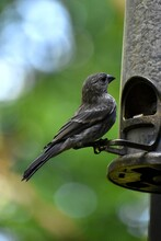 Female House Finch Perched On A Feeder