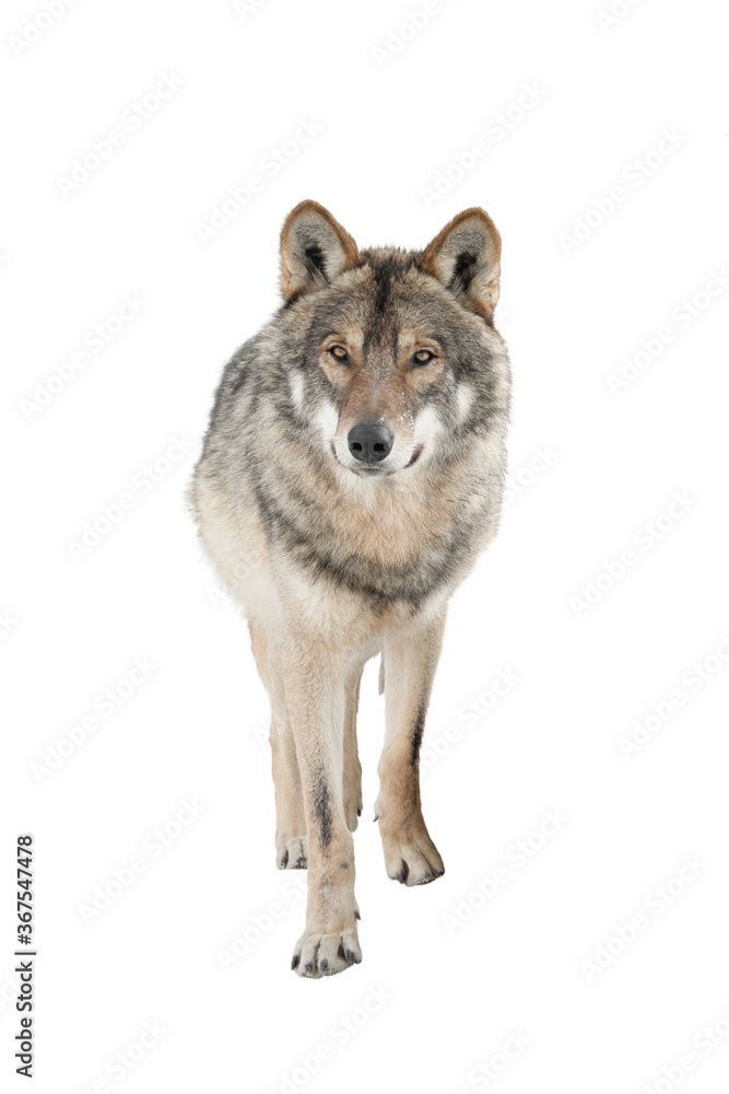 Standing gray wolf in the snow in winter isolated on white background.