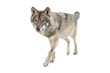 Running gray wolf isolated on a white background.