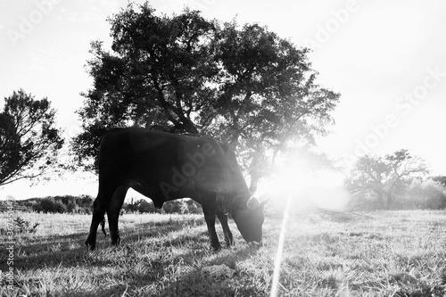 Fototapeta Brahman crossbred beef heifer grazing at sunset in farm field.
