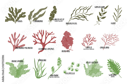 Fototapeta Big set of edible seaweeds. Brown, red and green algae. Sea vegetables. Vector flat illustration, isolated on white obraz