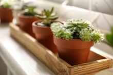 Windowsill With Beautiful Succulent Plants Indoors, Focus On Echeveria
