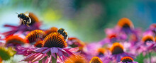Bumblebees And Echinacea Flowers Close Up