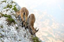 Two Young Alpine Ibex (Caora Ibex) On The Mountain Rocks, Montasio, Friuli Venezia Giulia, Julian Alps, Italy