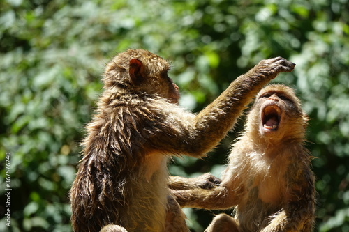 Fotografija bagarre deux frères singes